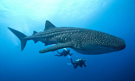 Diving with a whale shark.